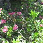 rododendron_IMG_0900