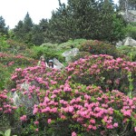 rododendron_IMG_0917