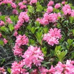 rododendron_IMG_0919