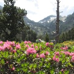 rododendron_IMG_0948